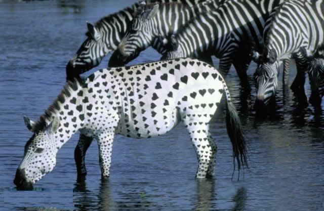 Zebre à coeur