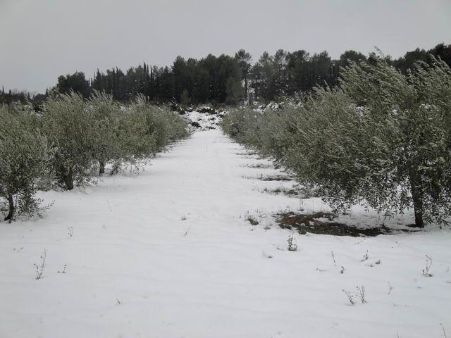 Neige à Combaillaux : oliviers sous la neige.