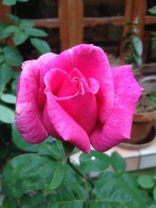 Belle rose rose
